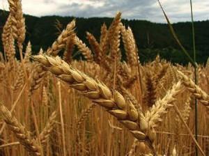 Resultado de imagen de foto proteina germen de trigo