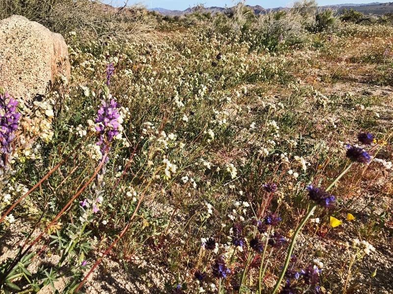 Wildflower Bloom At JTNP