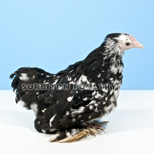Black Mottled Hen