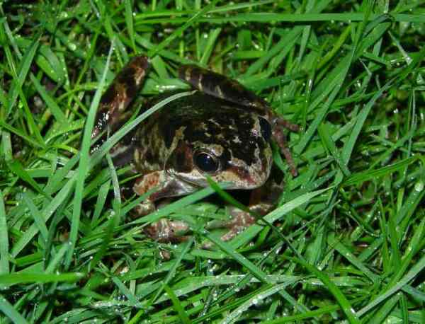 common garden frog Common Frogs in the Garden | Three Amigos Birding
