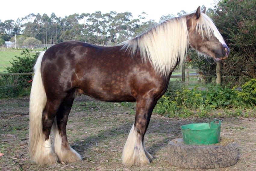Silver dapple Gypsy Cob stallion Armani Surrey Springs Australia