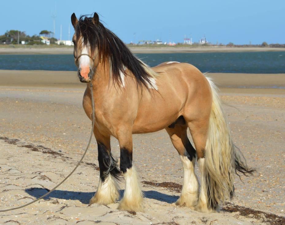 Buckskin homozygous tobiano Gypsy Cob stallion Australia