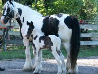 Gypsy Cob Mare Australia Brackenhill Domino and her colt foal Surrey Springs Pied Piper