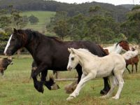 The adorable black Gypsy Cobmare Nyssa with her silver dapple Gypsy Cob colt Surrey Springs Prestige