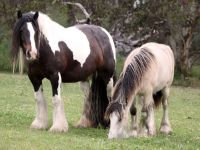 Bay & White GYpsy Cob mare and her buckskin filly Rivella on our Gippsland farm