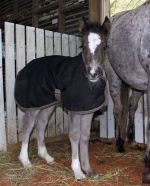 Bucksking Gypsy Cob partbred filly for sale.