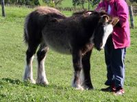 Sweet little Adarma. A black Gypsy Cob filly born in Australia at Surrey Springs in Victoria