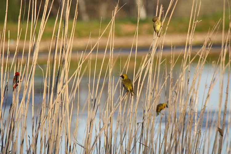 Southern-masked Weavers and Red Bishops at a dam on Surval.