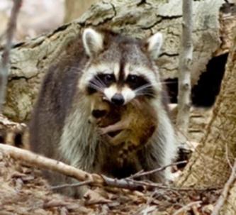Caught Raccon