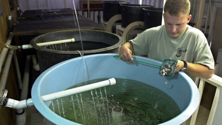 **ADVANCE FOR MONDAY, JULY 29** Humboldt State University student Mike Shoemaker inspects some of the six-month old trout fingerlings that are being raised at the Arcata Wastwater Aquaculture Project in Arcata, Calif., July 22, 2002. The young steelhead and cut-throat trout are raised in several indoor tanks filled with chlorine treated wastewater that has been mixed with salt water from Humboldt Bay. When they get larger they are put into larger outdoor ponds until they are old enough to be releasedin the wild. (AP Photo/Rich Pedroncelli).