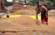 Rice production increases by 12% in Province 1