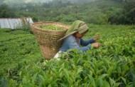 इलाममा हरियो चियापत्ती टिपाइ शुरु