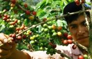 कफी खेतीको व्यवसायीकरण आर्थिक समृद्धिको आधार