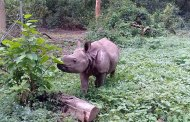 CNP prepares to send Sauraha's rhino calf to China