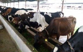 अष्ट्रेलियामा मनग्य आम्दानी छाडेर नेपालमा आएका युवा गाईपालनमा देखिए सफल