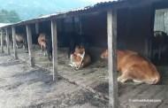 गाउँभरि गाई फार्म