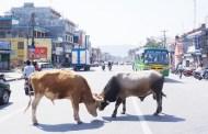 छाडा गाई र कुकुर व्यवस्थापन गर्न माग