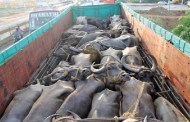 पशु चौपायामा समेत नेपाल परनिर्भर, तीन अर्ब १२ करोडको आयात