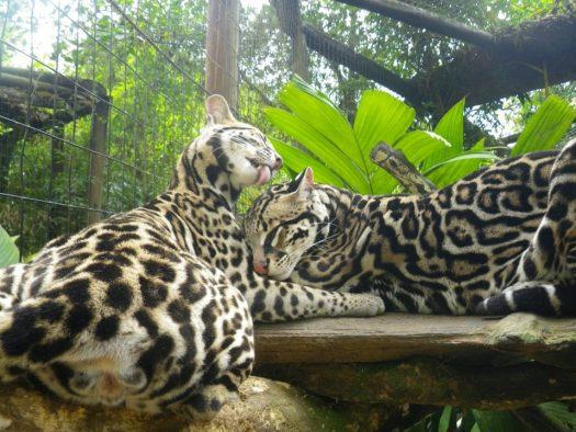 jungle animals, two white jaguars