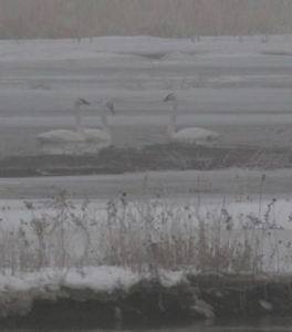 Tundra swans on a foggy, snowy morning. Grand Island, NE.