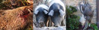 brutto and bella senese, our first 2 cinta senese pigs