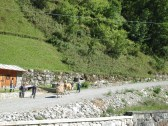 Cows in Gerola heading up to their high summer pastures where their milk will be used to make the region's excellent Bitto and Casera cheese.