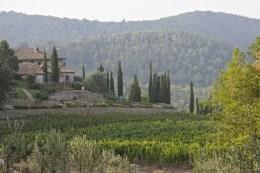 white wine vineyard