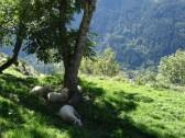 Sheep resting on a mountain alpage near Soglio.