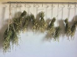chamomile drying
