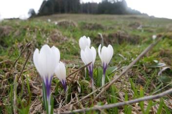 spring crocus in alpine meadows