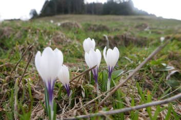 spring crocus in alpine meadows