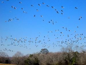 Sandhill Cranes at Hiwassee Wildlife Refuge, TN