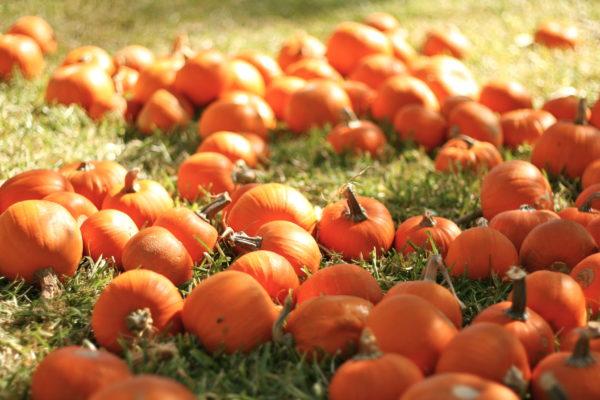 pumpkins mini