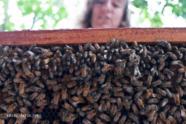 bee weaver bees