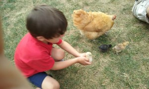 Young chickens and their young chicken keeper.