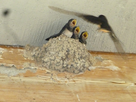 Swallows nesting in Knossos Palace, Crete. Photo Chris Fremantle