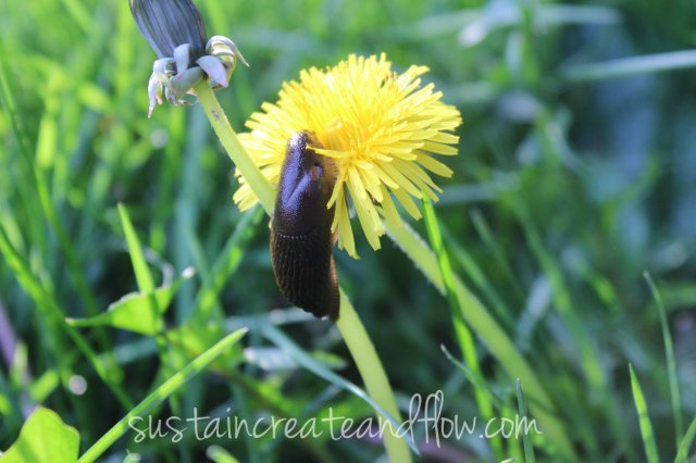 dandelion-and-slug