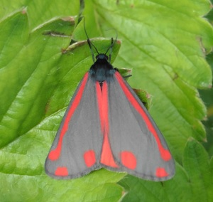 Echte vlinder