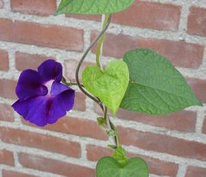 Klimmende plant