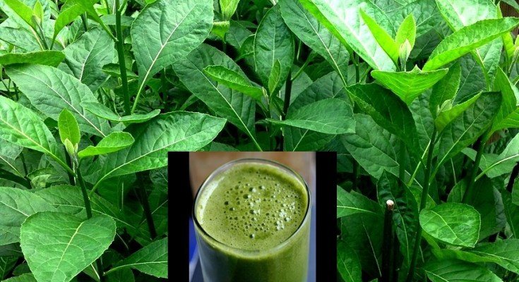 Effect of drinking bitter leaf juice - SUZZY HERBAL CENTRE LTD