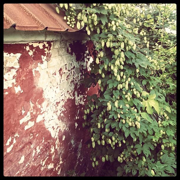 Humleranke der vokser opad muren
