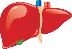 Liver-illustration