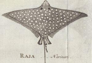 Aetobatis narinari from Euphrasén 1790
