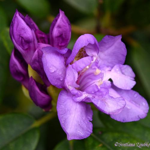 Rhododendron. Purple. Flowers - My Inspiration. Photo portraits of Azalea, Rhododendron, Columbine, Rose, Fuchsia - Svetlana.Gallery Photography