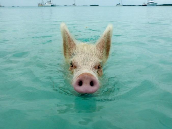 Swimming Pigs at Big Majors Spot