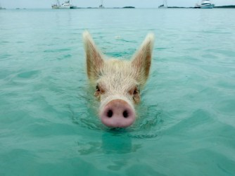 Swimming Pigs at Big Majors Spot