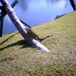 8056 – 12/26/05 bull iguana by the lake