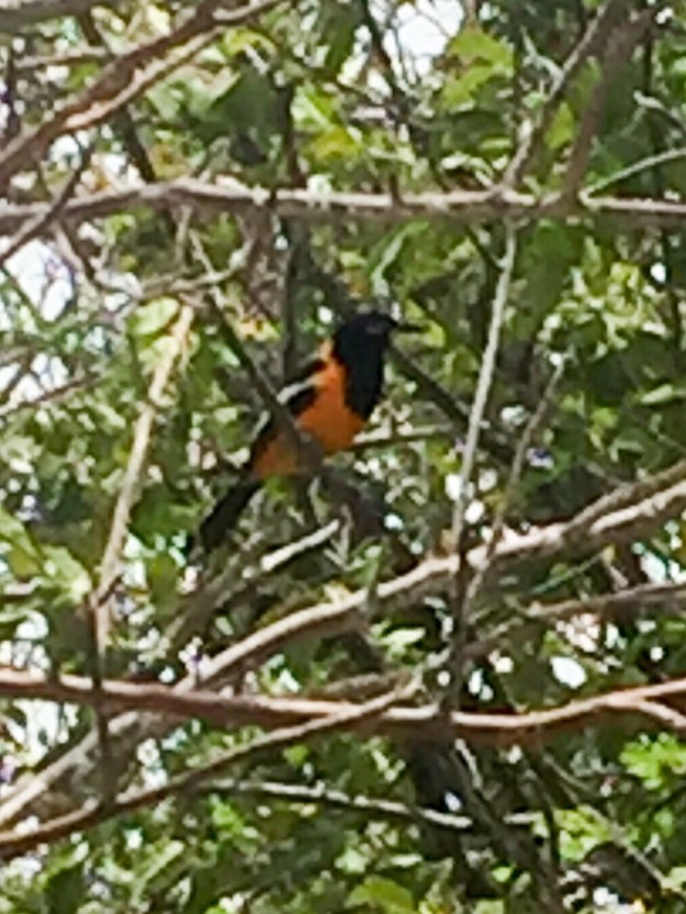 Pretty yellow bellied bird who sang to us