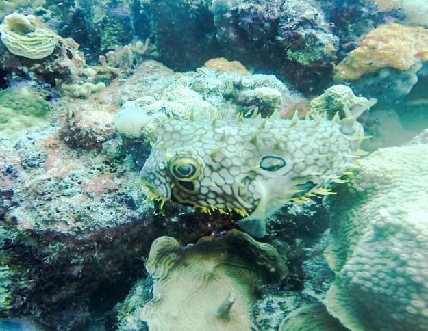 Spiny Box Fish