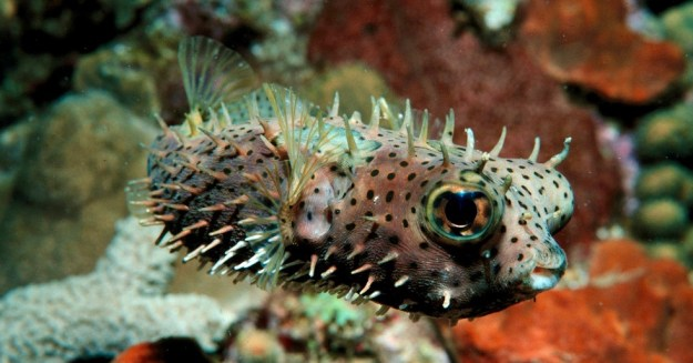 Dive discovery of spiny box puffer